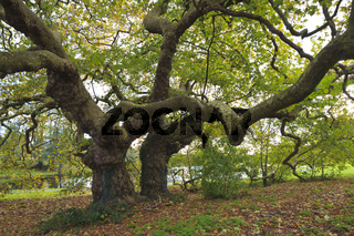 Old plane tree Brittany