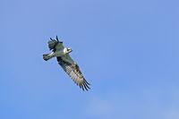Fischadler im Flug / Pandion haliaetus