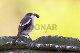 Fiskalwürger (Lanius collaris)