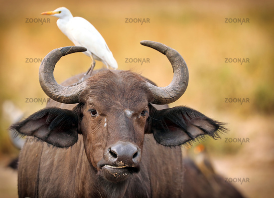 Afrikanischer Büffel im Murchison Falls Nationalpark Uganda (Syncerus caffer)   African buffalo, Murchison Falls National Park Uganda (Syncerus caffer)