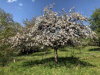 Streuobstwiese mit blühendem Apfelbaum