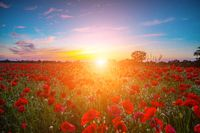 Poppy meadow in the beautiful light of sunset