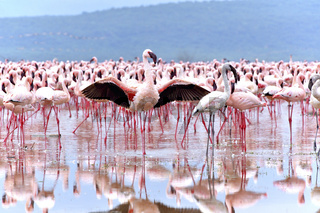 Flamingo am Bogoria See umwirbt Weibchen