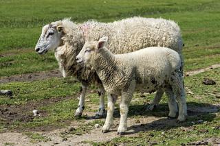 Texelmutterschaf mit Lamm, Schleswig-Holstein, Deutschland