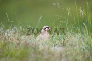 chukar partridge in grass