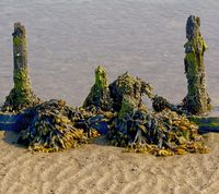 Bladderwrack,North Frisia,North Sea,Schleswig-Holstein,Germany