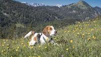 Beagle auf einer blühenden Bergwiese
