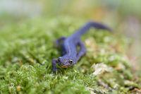 Bergmolch, Ichthyosaura alpestris, alpine newt