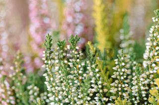 flowers field Calluna vulgaris