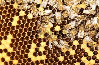 Bienenvolk bei der Arbeit