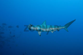Bogenstirn-Hammerhai, Mexiko