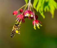 Honeybee flying to a flower blossom