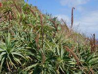 Wild wachsende Aloe, Madeira
