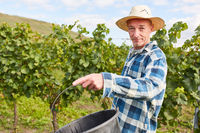 Erntehelfer oder Saisonarbeiter bei der Weinlese