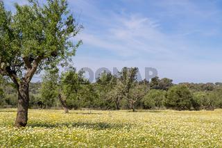 Blumenwiese auf Mallorca