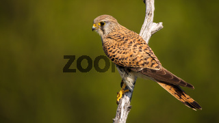 Female common kestrel sitting on a branch in summer nature and looking aside