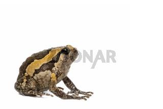 Banded bullfrog on white background