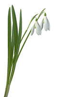 Galanthus nivalis Common Snowdrop Flowers Cutout