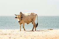 Bull on the beach in the town of Bijilo