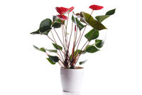 Blooming red anthurium