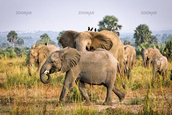 Elefanten im Murchison Falls Nationalpark Uganda (Loxodonta africana)   Elephants, Murchison Falls National Park Uganda (Loxodonta africana)