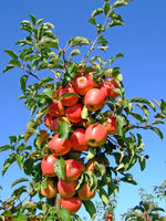 Apples growing in a plantation