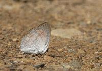 Indian Sunbeam, Curetis thetis, butterfly, Garo Hills, Meghalaya, India