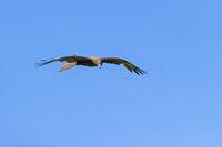 Schwarzmilan im Flug / Milvus migrans