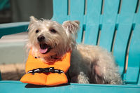Shouting West Highland Terrier dog in a Halloween costume nautical orange life vest