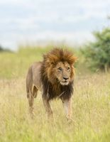 Male Lion on prowl, Maasai Mara National Reserve, Africa