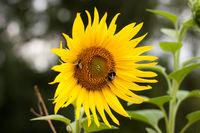 Biene und Hummel an der Sonnenblume