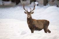 Beautiful male of red deer showing its antlers in the wintry landscape