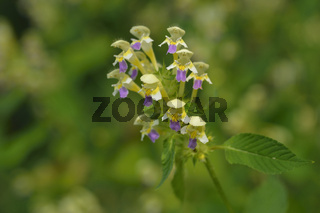 Bunter Hohlzahn (Galeopsis speciosa )