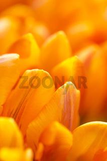 Gelbe Tulpen Detail