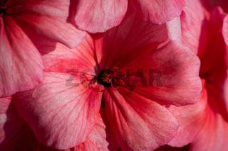 Pink color of flowers petals Pelargonium zonale Willd. Macrophotography of beauty petals