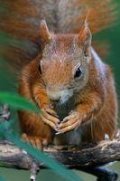 Eichhörnchen am Vogelfutter