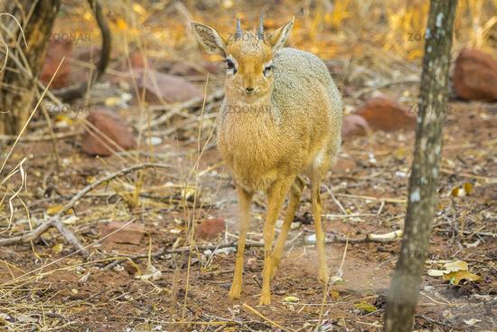 A Dik dik antelope in the Waterberg Plateau National Park in Namibia.