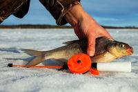 Fish bream in the snow.