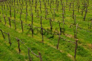 rows of vines in vineyard in austria