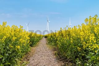 spring landscape in rapeseed flower field
