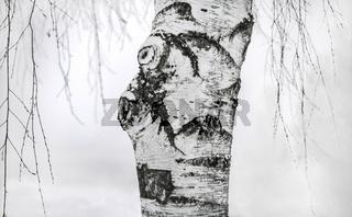 Birkenstamm im Winter