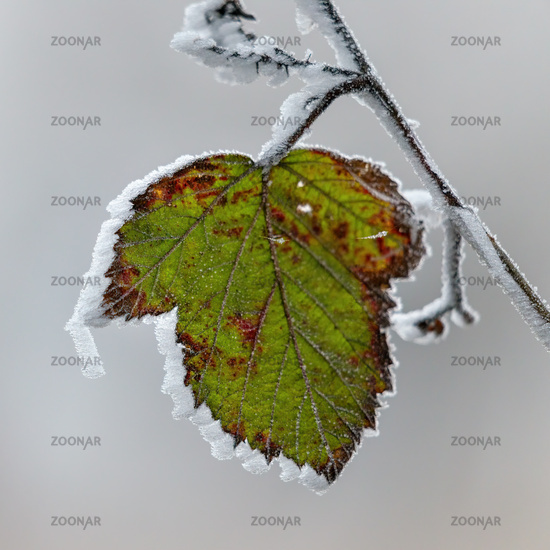 Close up of a Blackberry leaf covered with hoar frost