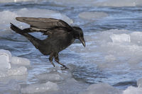 carrion crow that jumps from one ice to another near the shore