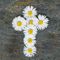 Christliches Kreuz aus gelb weißen Gänseblümchen Blüten auf einer grauen Schieferplatte