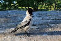 Corvus cornix, Hooded Crow, Dominant Posture