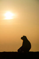 The Sun worshipping monkey of Hpa-an, Myanmar