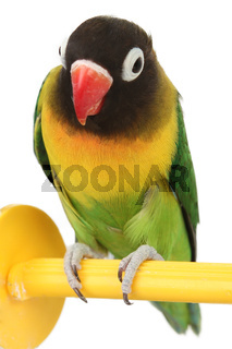 green parrot lovebird isolated