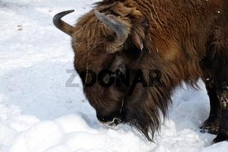 Bison Bulle