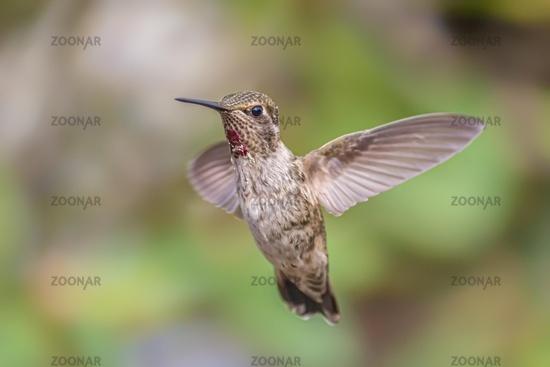 Anna's Hummingbird Captured in Flight, Northern California