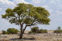 Kameldorn, Namibia